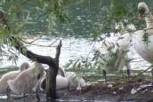 Cygnes aux étangs du Plessis Brion