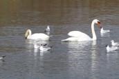 cygnes et sternes aux étangs du Plessis Brion dans l'Oise